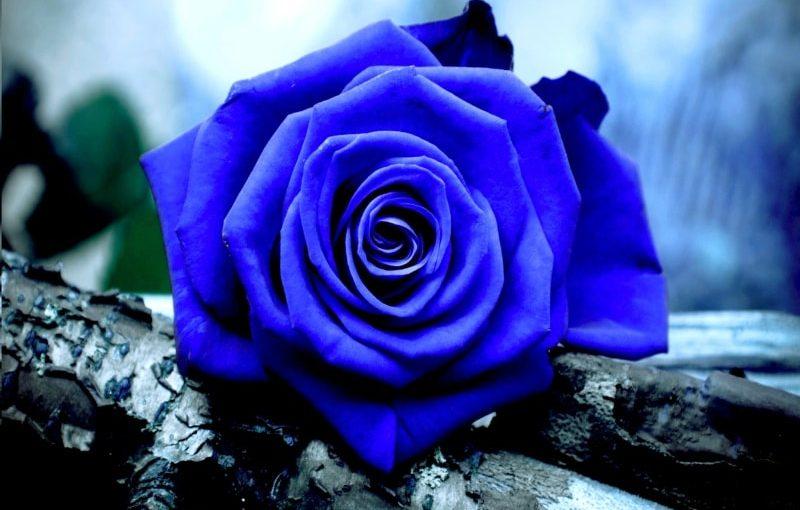 Imi plac trandafirii albastri